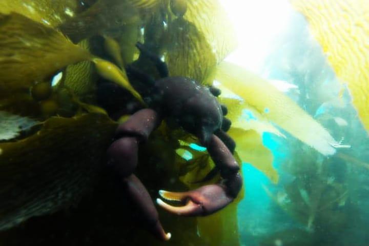 Algas cangrejo