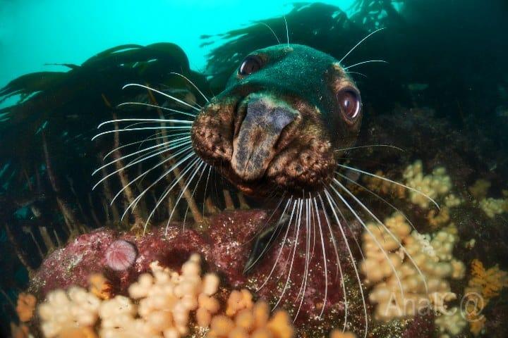 Algas foca