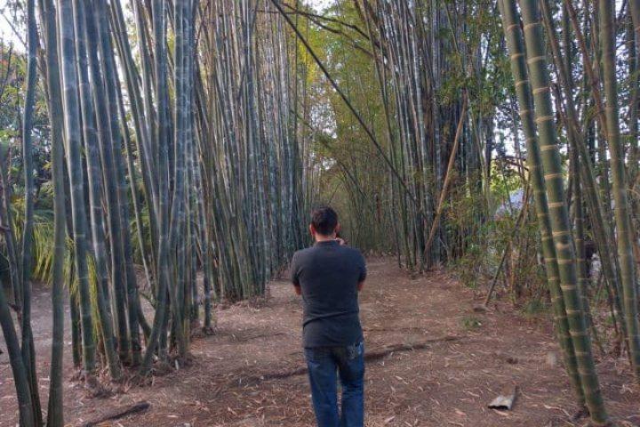 Bambus. Foto: Archivo