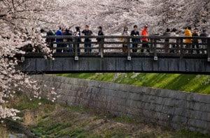Cerezos Japon Hanami foto Paul Davidson