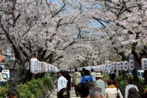 Cerezos Japon Kamakura foto Benjamin Claverie