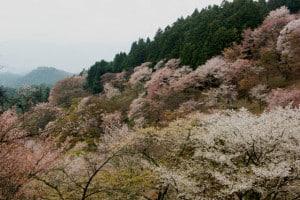 Cerezos Japon Monte Toshino foto Lasta29