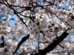 Cerezos Japon Parque Ueno foto Vanessa Smith