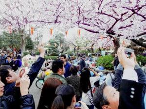 Cerezos Japon Ueno Foto Dick T Johnson