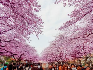 Cerezos Japon Ueno foto Dick Thomas Johnson