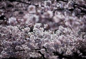 Cerezos Japon foto Marco Mastrojanni