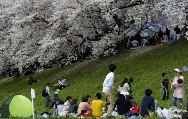 Cerezos Japon kyoto