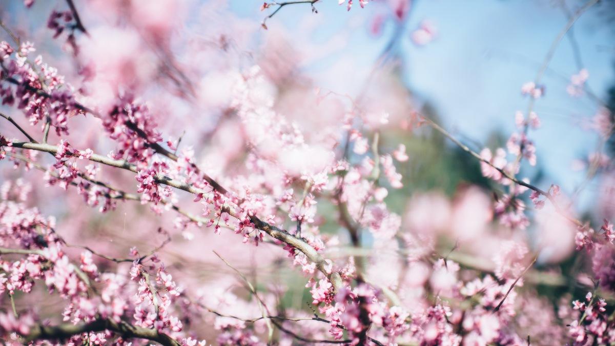 Cerezos de Japón EN PRIMAVERA Portada