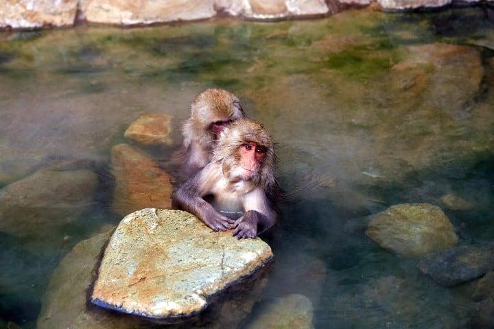 Aguas-revitalizadoras-Monos-japoneses-relajados-foto-efetur-4