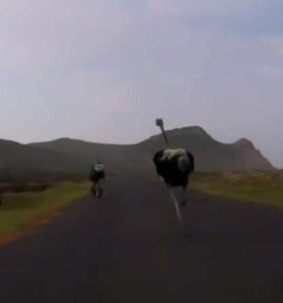 Ciclista perseguido por una avestruz. Foto: Archivo