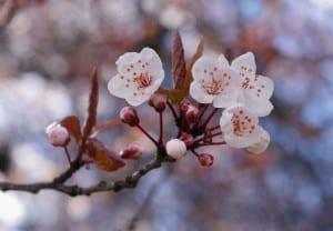 cerezos japon flores