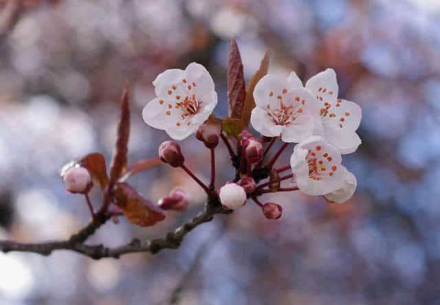 Florecen Los Cerezos De Japon Ya Es Primavera