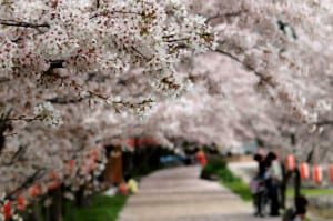 cerezos japon foto Conifer
