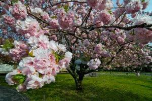 cerezos japon sakura