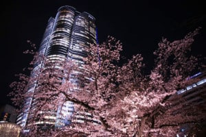 cerezos jappon de noche