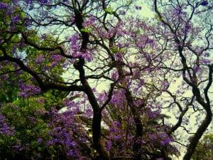 jacarandas foto Gabriela Maldonado