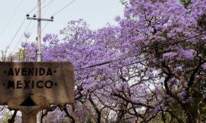 jacarandas foto Omar Bárcena