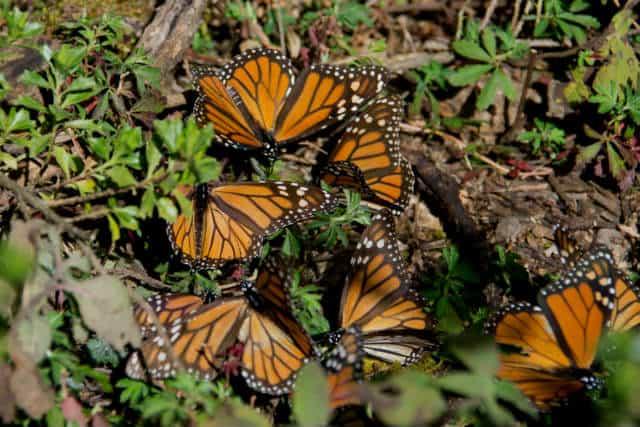 los azufres monarca