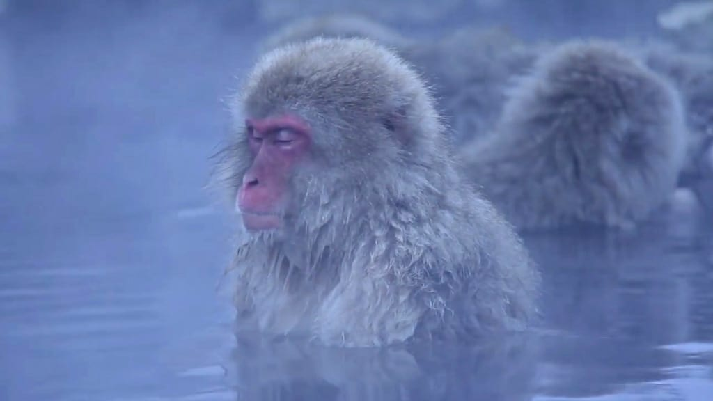 meditacion zen macacos japoneses