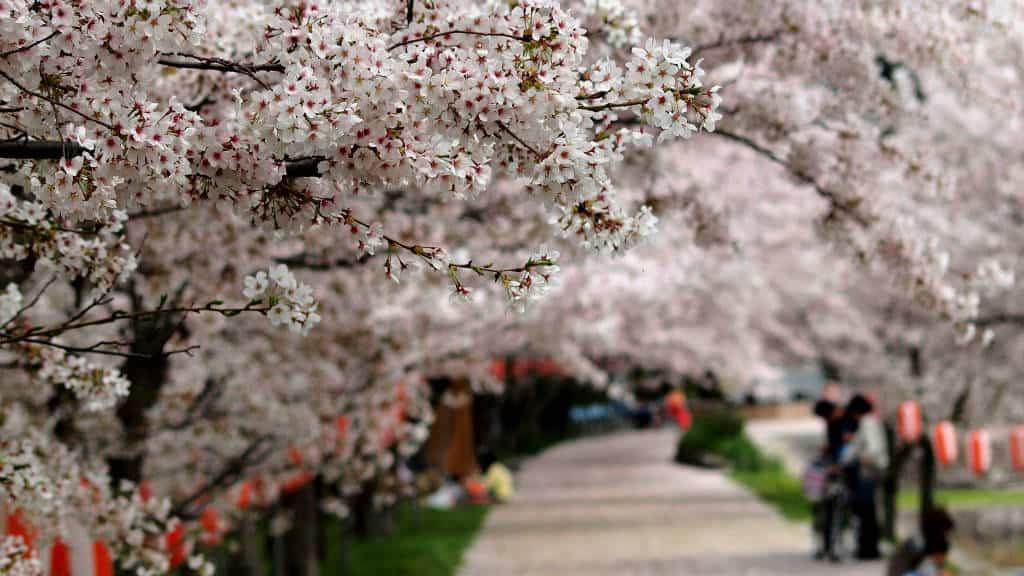 Cerezos de Japón Hanami