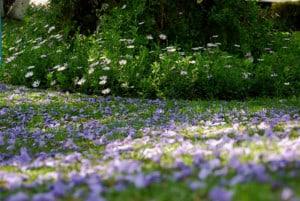 primavera jacarandosa