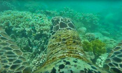tortuga arrecife coral australia