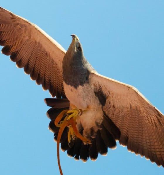 Águila en Dubái