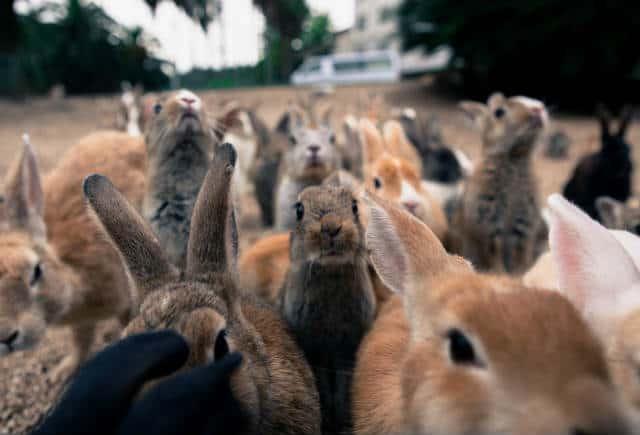 Isla conejos cientos Foto Kim Bui