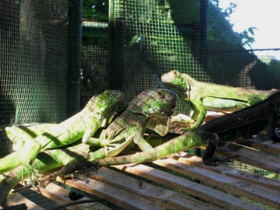 Nanciyaga iguanas