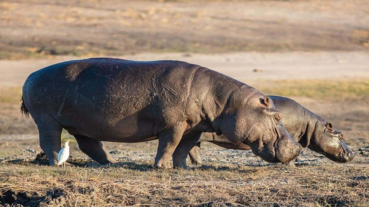 Vídeo hipopótamo comiendo sandías. Hipoótamo portada. Imagen. Diego Delso