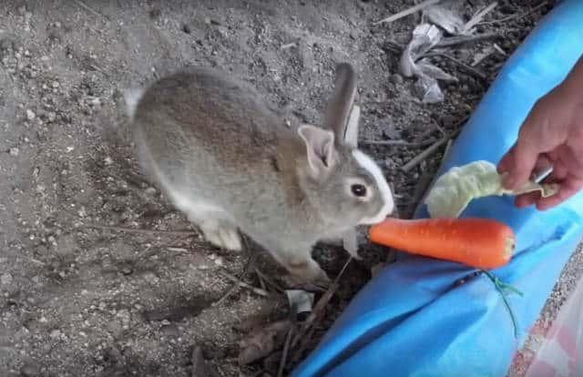isla conejo col y zanahoria