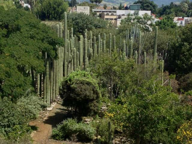 jardin etnobotanico oaxaca cactus