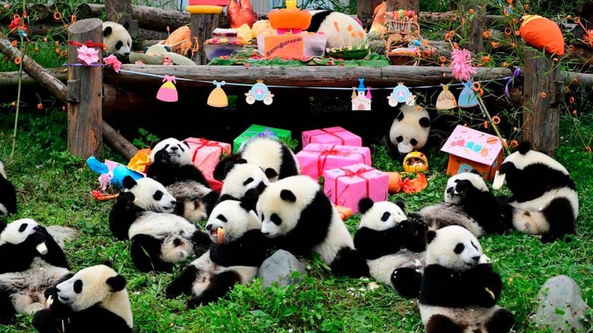 Chengdu-pandas