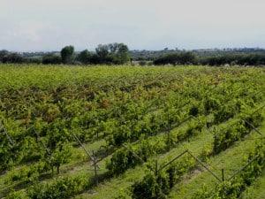 Cuna de tierra Gto viñedo
