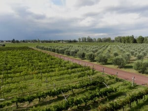 Cuna de tierra olivos