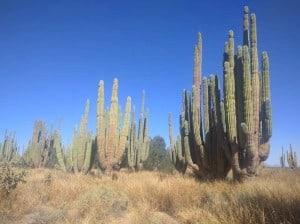 bosque de los sahuaros (3)