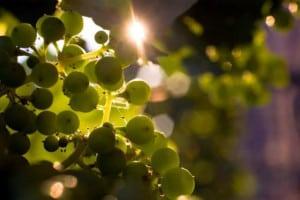 viñedos azteca uva