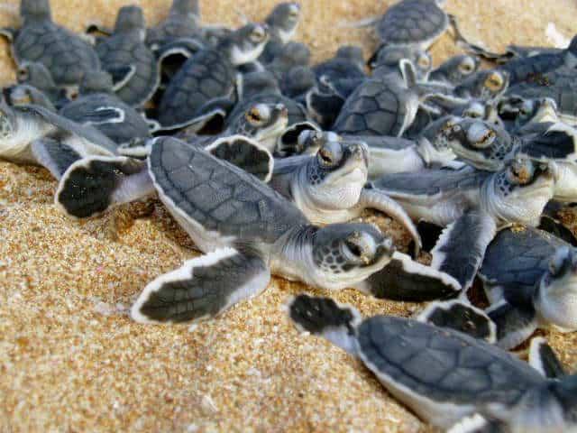 xel ha tortugas