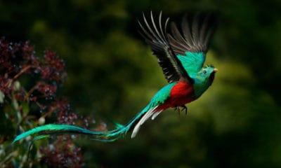 Portada. El Quetzal, un ave majestuosa. Imagen: archivo