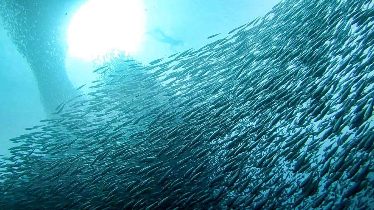 Video: Nadando en banco de Sardinas. Foto: Wanderers & Warriors