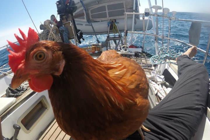 hombre viaja con gallina (1)