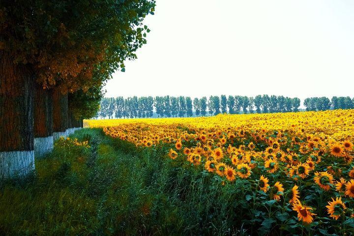 Happy Low Cost Foto: Campos de Girasoles en la Toscana