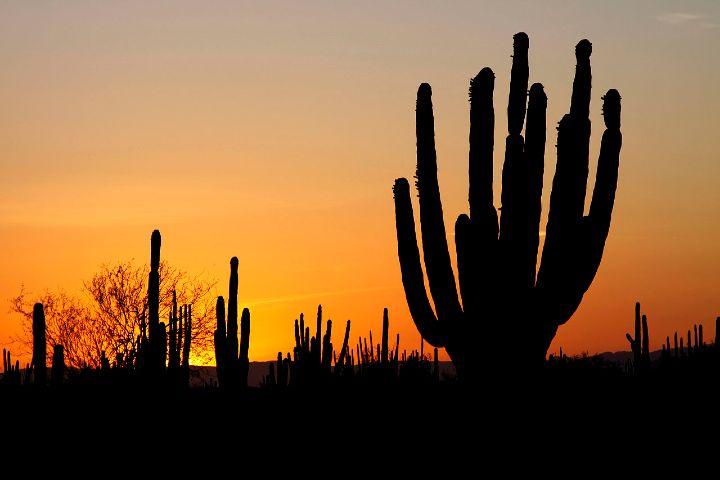 Wikipedia Foto: Sahuaros en Sonora