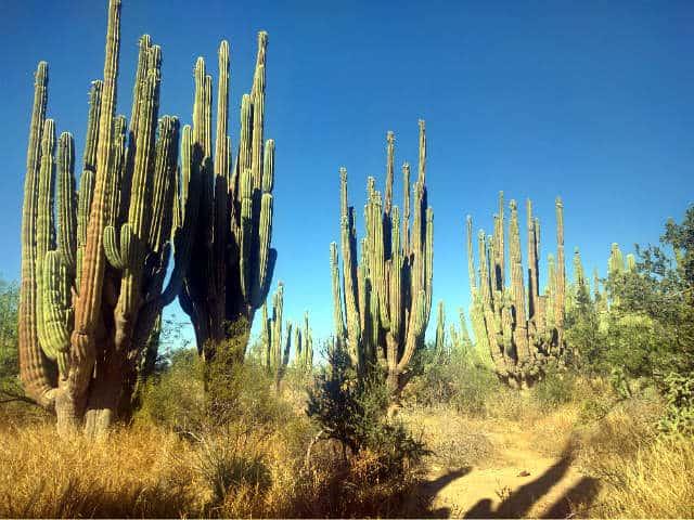 Sahuaros, Sonora