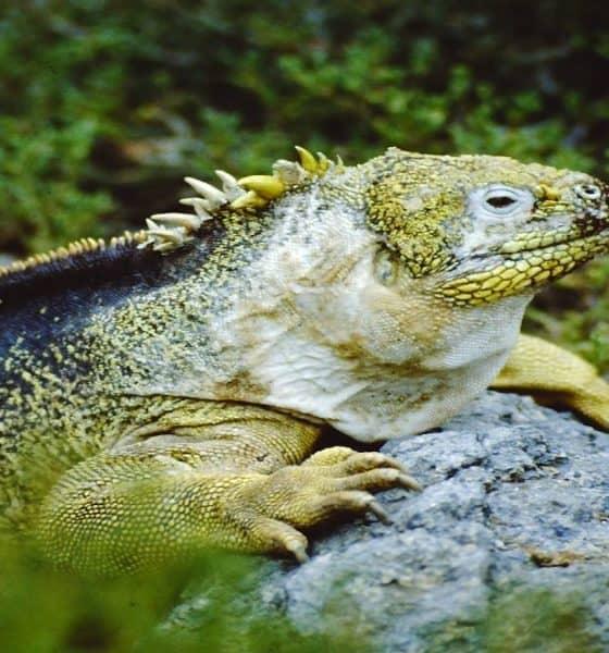 Iguana de Galápagos. Foto: francescobovolin
