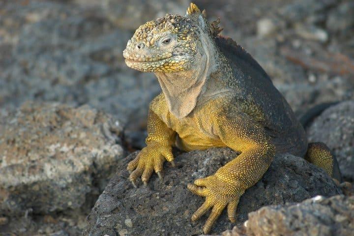 Iguanas marinas en Galápagos. Foto: 4606510
