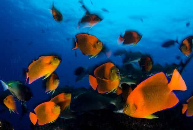 Islas Revillagigedo pez clarion