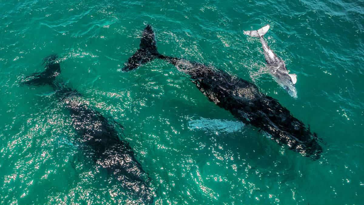 Portada.Dron capta ballenas jorobadas.Foto.Twitter