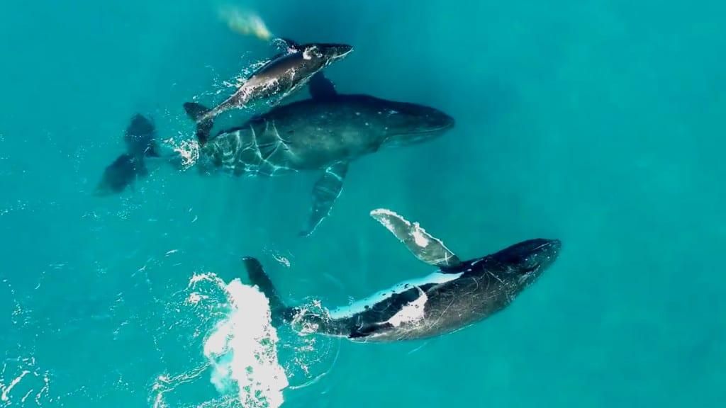 familia de Ballenas Jorobadas en Hawai