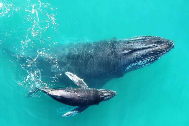 ballenas jorobadas.Foto.Quo.1